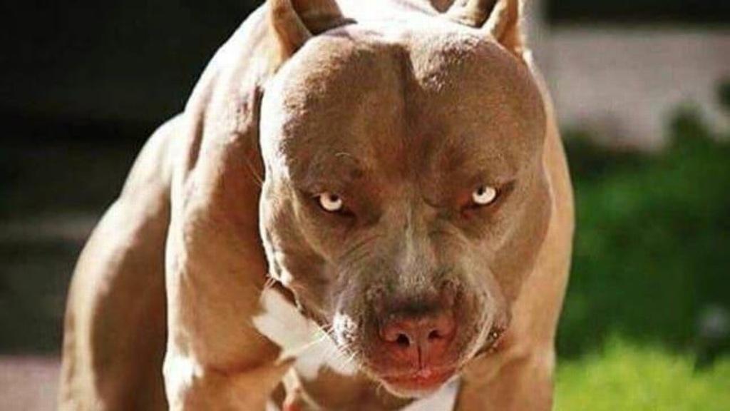 Niño de 3 años muere tras ser atacado por un perro pitbull