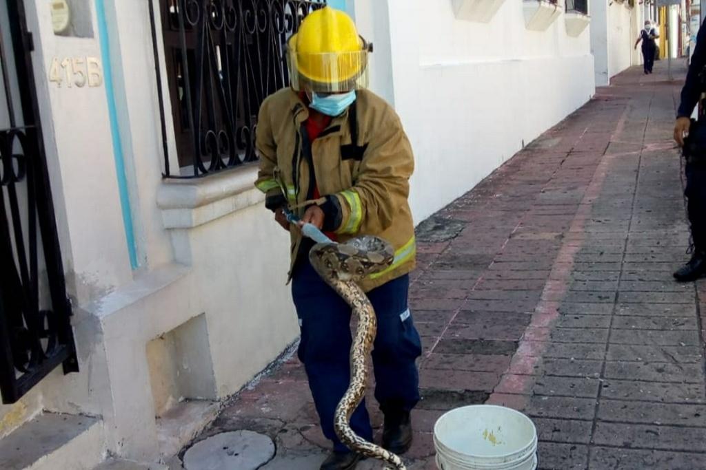 ¡Aguas! Por el calor, bomberos acuden a casas a sacar culebras, y con la lluvia salen los lagartos